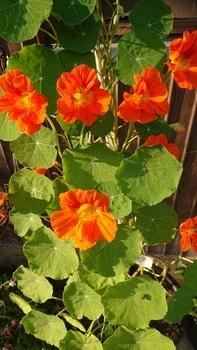 キンレンカを育てる!\(^^)/ 開花の数も増えてきました!