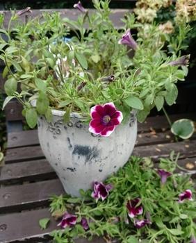 サフィニアアート《あずきフラッペ🍧》を鉢いっぱいに咲かせてみせます😉 切り戻し