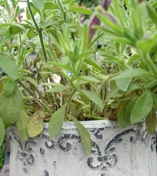 サフィニアアート《あずきフラッペ🍧》を鉢いっぱいに咲かせてみせます😉 中は〰️スカスカ
