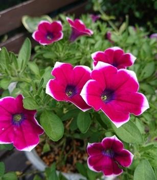 サフィニアアート《あずきフラッペ🍧》を鉢いっぱいに咲かせてみせます😉 綺麗にお花が咲いてきました😄