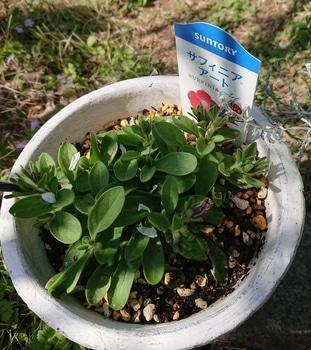 サフィニアアート《あずきフラッペ🍧》を鉢いっぱいに咲かせてみせます😉 15日がたちました