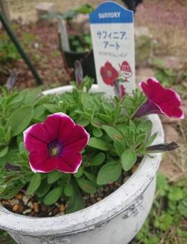 サフィニアアート《あずきフラッペ🍧》を鉢いっぱいに咲かせてみせます😉 可愛い~お花です!