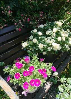 サフィニアアート《あずきフラッペ🍧》を鉢いっぱいに咲かせてみせます😉 かわいいね
