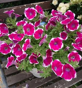 サフィニアアート《あずきフラッペ🍧》を鉢いっぱいに咲かせてみせます😉 もりもりな🌼