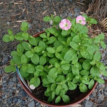 はじめてのサフィニアにチャレンジ 2 花の蕾もたくさん