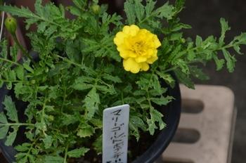 めざせ!マリーのゴールドメダル❣ 5品種のマリーゴールドでオリンピックマークを 咲きました