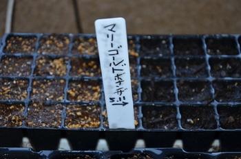 めざせ!マリーのゴールドメダル❣ 5品種のマリーゴールドでオリンピックマークを 再度、種を蒔きました