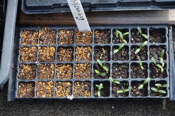 めざせ!マリーのゴールドメダル❣ 5品種のマリーゴールドでオリンピックマークを 2回目の種まき、発芽しました。