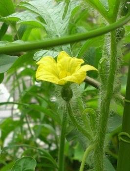こだまスイカ 2012.7.15 久々の雌花が開花