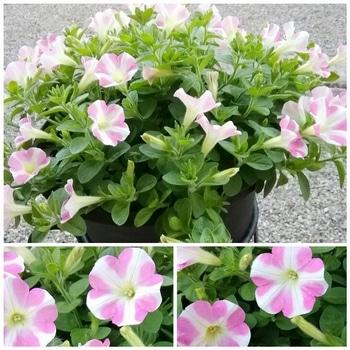 【変化する花模様】サフィニア アート【ももいろハート】 花がら摘みが日課です