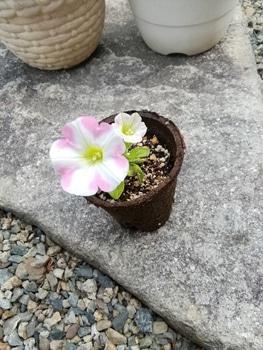 【変化する花模様】サフィニア アート【ももいろハート】 挿芽