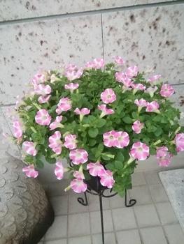 【変化する花模様】サフィニア アート【ももいろハート】 見本鉢より綺麗です(自画自賛/笑)