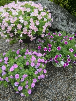 【変化する花模様】サフィニア アート【ももいろハート】 苦手意識が強かった
