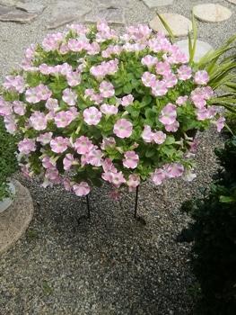 【変化する花模様】サフィニア アート【ももいろハート】 花チャレ終了