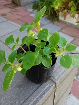 数年ぶりのインパチェンスの種まき! 咲くまで育てることが出来ませんでした