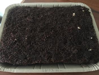 夏の花壇のメインを、種から育ててみる。 【19/4/11】