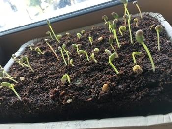 夏の花壇のメインを、種から育ててみる。 【19/4/15】