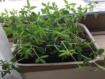 夏の花壇のメインを、種から育ててみる。 【19/5/9】