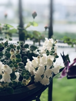 これは宿根金魚草だと思うけど、あってますか? 4月22日 葉はモコモコ 開花が進む