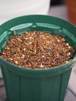 クレマチス篭口の株を育てつつ可憐に花を咲かせたい 8月下旬 ばっさり切り戻し
