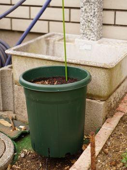クレマチス篭口の株を育てつつ可憐に花を咲かせたい 2020/1/11 植え替え