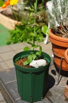 クレマチス篭口の株を育てつつ可憐に花を咲かせたい
