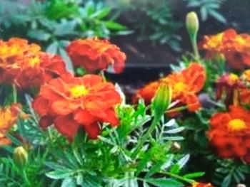 毎年恒例のマリーゴールド By 琥鉄と神凪 マリーゴールドの栽培記録 育て方 そだレポ みんなの趣味の園芸