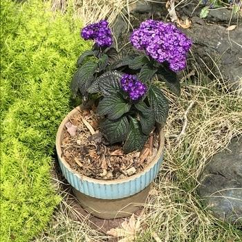増やしながら大きく育てるヘリオトロープ 鉢に植えかました。