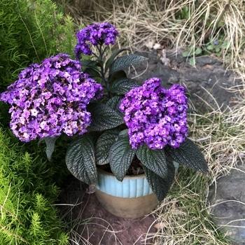 増やしながら大きく育てるヘリオトロープ 花が終わりそうです
