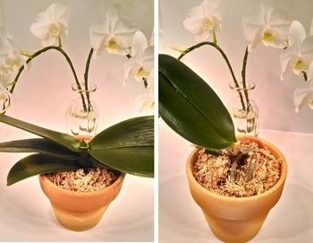 ミディ胡蝶蘭を復活させたい! 素焼きの鉢に植え替え