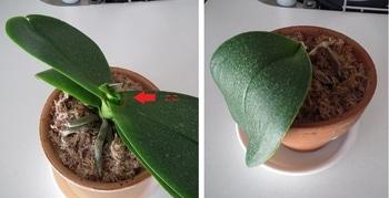 ミディ胡蝶蘭を復活させたい! 新しい葉が生えてきた!