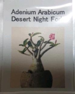 砂漠のバラ「アデニウムアラビカム」の実生♪ 種ゲット(^_-)