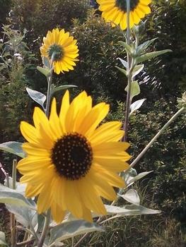 ひまわり大雪山 銀葉にたくさんの花を咲かせたい! 8月2日 次々に咲いて