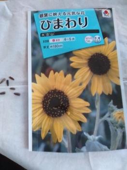 ひまわり大雪山 銀葉にたくさんの花を咲かせたい!