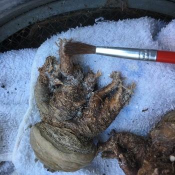 ロホホラ属 平成最後の植え替え ✂️切り口は念のため消石灰を塗っとく。