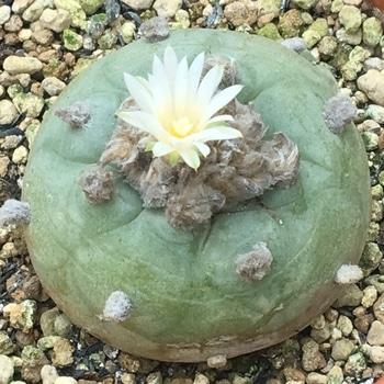 ロホホラ属 平成最後の植え替え 🌼✨烏羽玉が開花。ずいぶん遅い。
