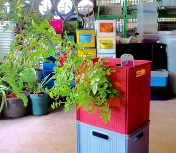 タテニワ・垂直栽培 収納ボックスでMin・スイートチャリオット栽培  2019/4/28 植込み後