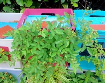 タテニワ・垂直栽培 収納ボックスでMin・スイートチャリオット栽培  2019/6/10 春咲き終了