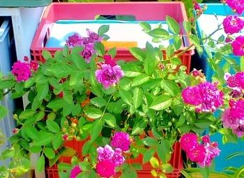 タテニワ・垂直栽培 収納ボックスでMin・スイートチャリオット栽培  2019/6/20 二番花