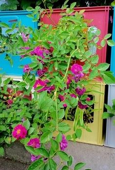 タテニワ・垂直栽培 収納ボックスでMin・スイートチャリオット栽培