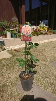 バラを新苗から育てる!!! 4月6日:苗を購入