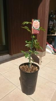 バラを新苗から育てる!!! 4月6日:植え替え