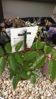 バラを新苗から育てる!!! 4月6日:摘芯