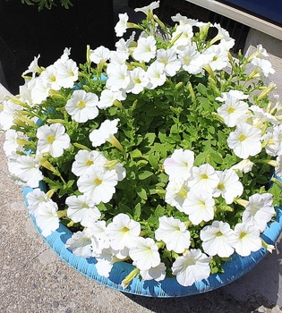 週末ガーデナーチャレンジ 鍵っ子の庭にもたくさん咲かせたい!ビスタスノー編 植えつけから8週間