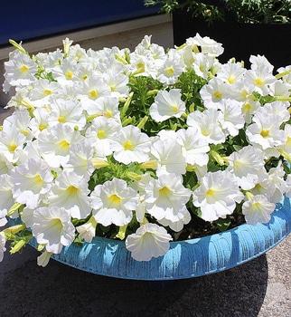 週末ガーデナーチャレンジ 鍵っ子の庭にもたくさん咲かせたい!ビスタスノー編 植えつけから9週間