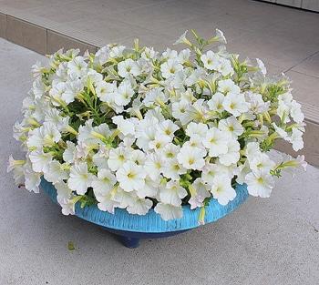 週末ガーデナーチャレンジ 鍵っ子の庭にもたくさん咲かせたい!ビスタスノー編 植えつけから10週間