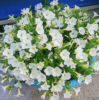 週末ガーデナーチャレンジ 鍵っ子の庭にもたくさん咲かせたい!ビスタスノー編 植えつけから12週間