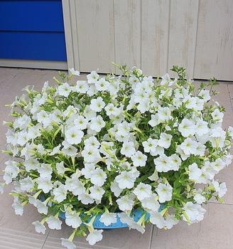 週末ガーデナーチャレンジ 鍵っ子の庭にもたくさん咲かせたい!ビスタスノー編 植えつけから13週間