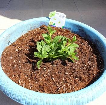 週末ガーデナーチャレンジ 鍵っ子の庭にもたくさん咲かせたい!ビスタスノー編 植え込み
