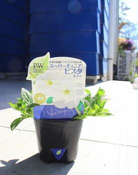 週末ガーデナーチャレンジ 鍵っ子の庭にもたくさん咲かせたい!ビスタスノー編
